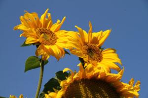 Aufmerksamkeit, Achtsamkeit, Coaching, Coach, Herbst, Sonnenblume